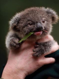 Baby Koala Just Chilling