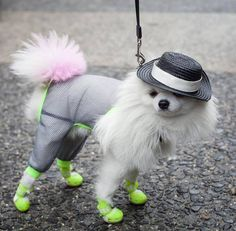 This is #Zuzu, model, blogger, a tiny Pomeranian with her own fashion label who loves fashion and the camera. More on the fab fashionista at #NYFW for Spring 2016, click http://www.helenoppenheim.com/zuzu-fab-fashionista-dog-nyfw-spring-2016/ Photo: © Shana Schnur