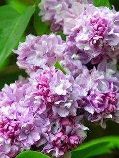 Syringa vul. - Katherine Havenmeyer French Lilac
