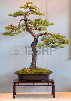 Scotch pine Pinus sylvestris as bonsai tree Stock Photo