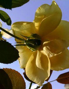 Bettie's yellow rose.