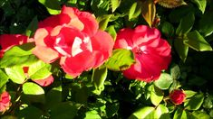🌹My beautiful Knock Out roses are starting to bloom in the golden hour 6...