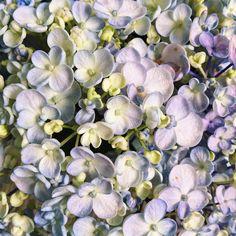 Popcorn blue hydrangea @dittodittoflorals Blue Hydrangea, Our Love, Popcorn, Florals, Our Wedding, Bloom, Plants, Floral, Flowers