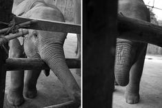 Had to share a #photo from the #elephantsanctuary in #chaingmai #thailand. This photo in particular is of a shy #babyelephant saying hello, look at his mini trunk and feet! It was such a rewarding experience to know that this type of #tourism is becoming more and more popular there, and they're not drugging or forcing the animals to do tricks for us, but instead understanding their behaviours and giving them what they need.
