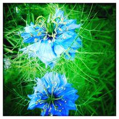 Mystical Blue Flowers = Nigella or love in a mist