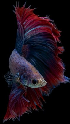 Halfmoon Fancy Betta Fish, he looks like my baby Iroh 😍 Colorful Fish, Tropical Fish, Animals Of The World, Animals And Pets, Siamese Fighting Fish, Halfmoon Betta, Beautiful Fish, Exotic Fish, Mundo Animal