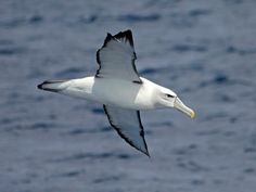 Shy Albatross_(Thalassarche cauta) by Charlie Westerinen.