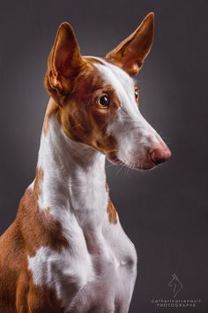 Ibizan hound * * WOW - And yet another breed of canine. Any info on this guy? He's quite handsome.""
