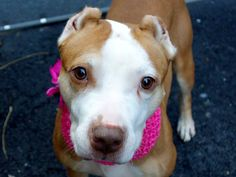GONE --- URGENT - Manhattan Center    SUNSHINE - A0989539   *** LIVED WITH DOGS, CATS, CHILD ***   FEMALE, RED / WHITE, PIT BULL MIX, 7 yrs  OWNER SUR - RESCUEONLY, NO HOLD Reason LLORDPRIVA   Intake condition NONE Intake Date 01/14/2014, From NY 10029, DueOut Date 01/14/2014 Main thread: https://www.facebook.com/photo.php?fbid=742469725765909&set=a.617938651552351.1073741868.152876678058553&type=3&permPage=1