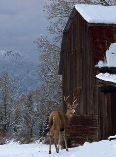 Barn & Buck Deer In Winter Snow