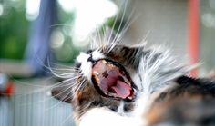 Maine Coon cat Pumba, yawning. http://500px.com/photo/78678321/maine-coon-cat-yawn-by-remy-bergsma