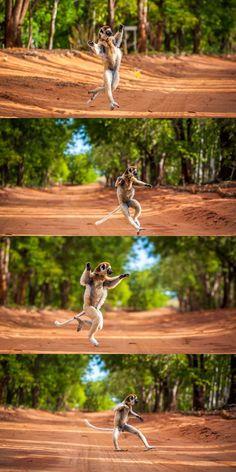 """Avec son entrain et ses mouvements amples, il pourrait faire penser au King Julian du film d'animation """"Madagascar"""". Cet animal est un sifaka, une espèce de grand lémurien vivant sur l'île de Madagascar. C'est là que ce spécimen a été photographié, en plein déplacement dans une forêt malgache."""