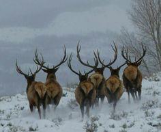 Dashing through the snow by jodi Caribou Hunting, Elk Hunting, Pheasant Hunting, Turkey Hunting, Archery Hunting, Elk Pictures, Animal Pictures, Caribou Animal, Water Deer