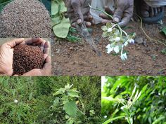 Traditionally Proven Medicinal Rice Formulations for Diabetes (Madhumeha) and Cancer Complications and Revitalization of Pancreas (TH Group-145 special) from Pankaj Oudhia's Medicinal Plant Database