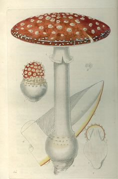 William Miller . Fly agaric. 1823.