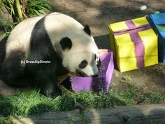 ...see pandas and nature as a gift to be protected and shared... (Yun Zi appreciates gifts for his 2nd birthday.)