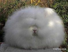Angora Rabbit  (& the Top 10 Most Unusual Animals On Earth)