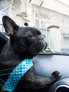 French Bulldog, via HOW TO TRAIN TWO BAT-FROGS
