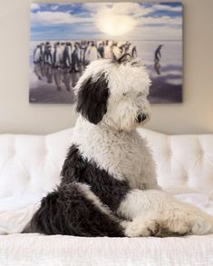 Panda penguin or sheepadoodle? Animals And Pets, Baby Animals, Funny Animals, Cute Animals, Cute Puppies, Dogs And Puppies, Cute Dogs, Doggies, Sheepadoodle Puppy