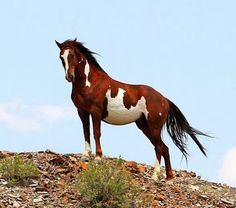 Cherokee, Sand Wash Basin wild stallion. John Wagner Photography
