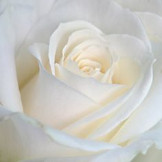 There is such purity in a white rose. I always think of heaven, when I see a white rose.