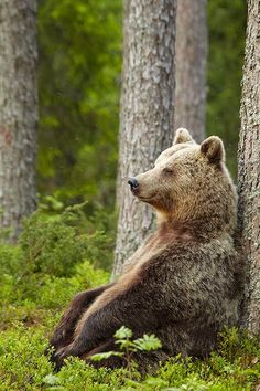 An Early Morning Walk - animals-are-hype: thinking mama bear by. Nature Animals, Animals And Pets, Baby Animals, Funny Animals, Cute Animals, Baby Pandas, Wild Animals, Bear Pictures, Animal Pictures