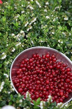 Buy cowberry Vaccinium vitis-idaea 'Red Candy (PBR)': Delivery by Crocus