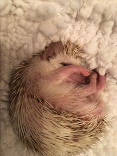 Snug as a bug in a rug! Cute Small Animals, Cute Funny Animals, Cute Baby Animals, Animals And Pets, Pygmy Hedgehog, Baby Hedgehog, Hedgehog Illustration, Cute Creatures, Cute Images