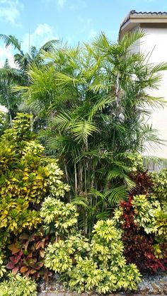 Bamboo Palms with Crotons