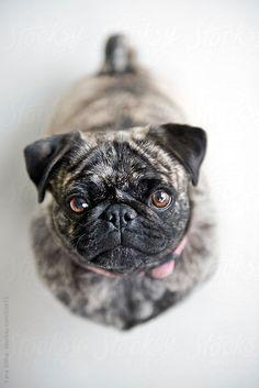 CARA SLIFKA Brindle Pug!