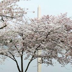 【bitsnbobbles4u】さんのInstagramをピンしています。 《💕February Photo Contest💕  DAY 11 - GREAT OUTDOORS Cherry blossoms in Washington, DC.  To enter our CAPTURING FEBRUARY giveaway:  1. Join my facebook VIP group https://www.facebook.com/groups/bitsnbobbles4u/ 2. Find today's challenge graphic and post a picture in the comment section that represents that day's challenge word. Not on FB? Post your pic on Instagram and tag us @bitsnbobbles4u  When you comment you will be entered into our giveaway raffle…