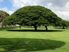 Hawaiian LandscapeOahu, Hawaii Beautiful tree in Oahu.Participation by Phil A.