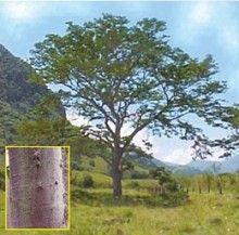 Orejero (Enterolobium cyclocarpum)