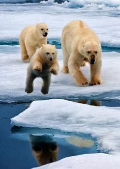 Vertical Wallpapers: Polar Bear Family