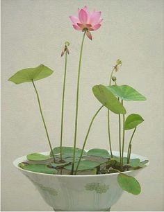 Selected 24 different species nelumbo nucifera seeds hydrophyte bonsai flowers seeds water lily lotus flower hydroponic plants-inBonsai from...