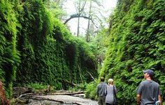 Magical Fern Canyon has been called a natural wonder, and for good reason. Redwoods California. The actual place where Jurassic Park 2 was filmed. Yes the movie. The blonde in the pic.