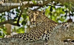 Pound for pound, the leopard is the strongest climber of all the big cats. Their shoulder blades even have special attachment sites for stronger climbing muscles. They spend much of their time in trees even when stalking prey and for eating Climbers, Big Cats, Panther, Muscles, Trees, Shoulder, Animals, Animales, Animaux