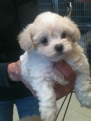 Malti-poo Girl is an adoptable Maltese Dog in Los Angeles, CA. Hold onto your ribs
