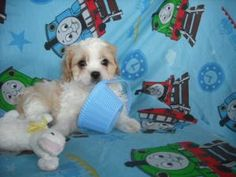 Tristan is an adoptable Cavalier King Charles Spaniel Dog in Mansfield, OH. Ladybugs K9 Rescue would like to thank you for choosing to opt to adopt. Please be aware that the puppies posted on our webs...