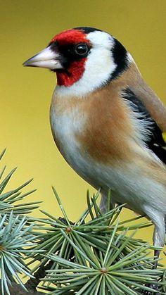 European Goldfinch bird.