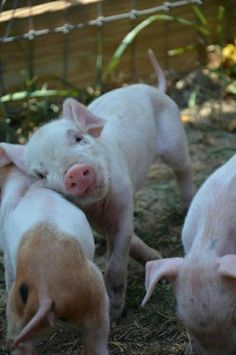 #Pigs!
