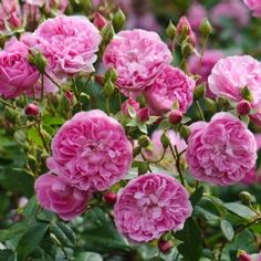 Harlow Carr - David Austin Roses Shallow cups of the purest rose pink with a strong old rose fragrance