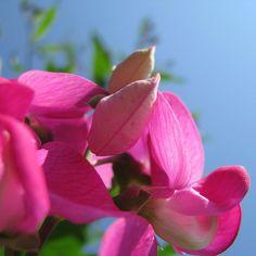 http://fotomacro.tumblr.com/ Copyright © 2015 Foto Macro - All Rights Reserved #summer #nature #macro #photography #flower #wildflower #everlastingpea #pea #sky #bud
