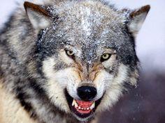 Fundo de Ecrã de um lobo
