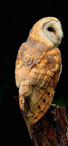 barn-owl-at-twilight-inspired-nature-photography-by-shelley-myke - photos animaux - Beautiful Owl, Animals Beautiful, Cute Animals, Owl Photos, Owl Pictures, Owl Bird, Bird Art, Animal Photography, Nature Photography