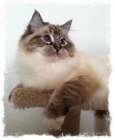One of our Mitted seal lynx Ragdoll adolescents .