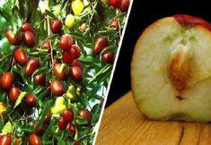 Τζιτζιφιά – Το Δέντρο Γιατρός! Οι άγνωστες Θεραπευτικές της Ιδιότητες και Τρόποι Καλλιέργειας Kai, Herbalism, Apple, Fruit, Food, Photography, Decor, Gummi Candy, Garten