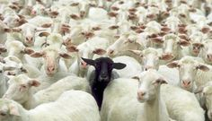 black-sheep Conceptual Photography Ideas That Will Amaze You Photos) Farm Animals, Cute Animals, Black Sheep Of The Family, Wooly Bully, Baa Baa Black Sheep, Photo Animaliere, Zoom Photo, Foto Real, Sheep And Lamb