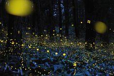 Long Exposure Photos of Fireflies Lighting Up the Forest Night by Tsuneaki Hiramatsu