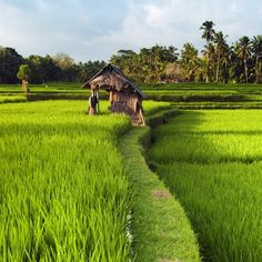 The ricefields have such vitality! These are near Ubud, Bali.